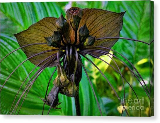 Black Bat Orchid Canvas Print