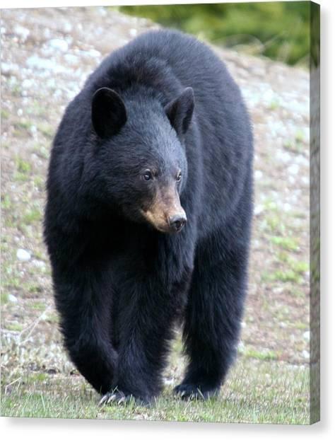 Black Bear At Banff National Park Canvas Print