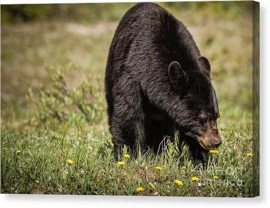 Canvas Print featuring the photograph Black Bear by Brad Allen Fine Art