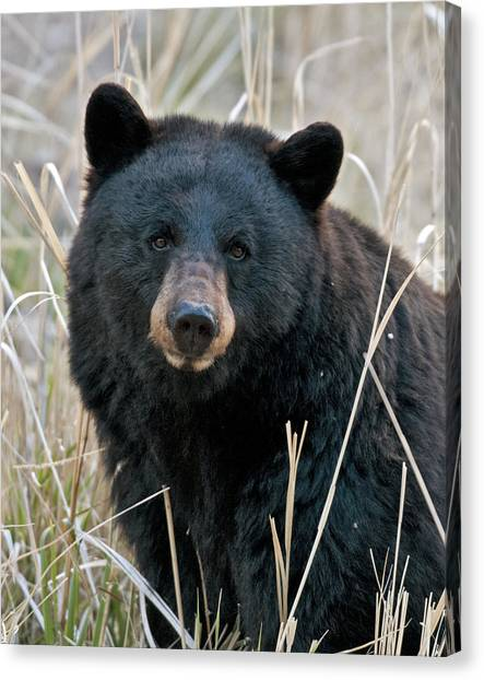 Black Bears Canvas Print - Black Bear Closeup by Gary Langley