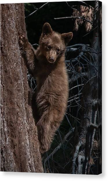 Black Bear Cub Sequoia National Park Canvas Print