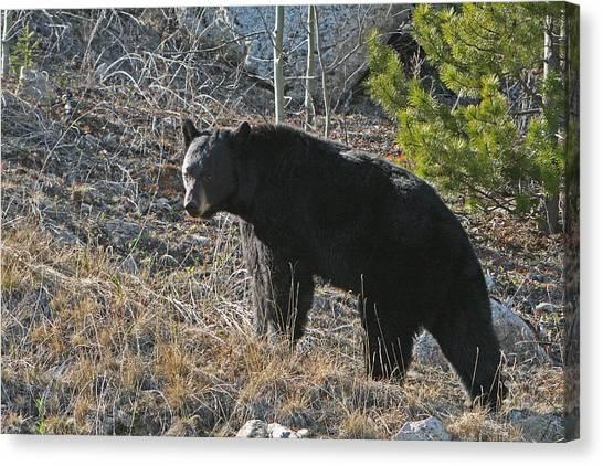Black Bear Canvas Print by Dave Clark