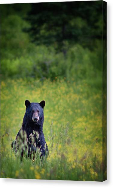 Black Bear Lookin At Me Canvas Print