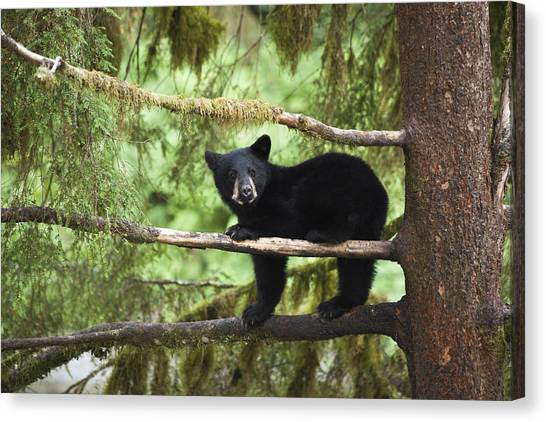 Tongass National Forest Canvas Print - Black Bear Ursus Americanus Cub In Tree by Matthias Breiter