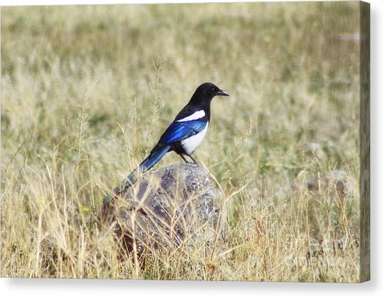 Black-billed Magpie Canvas Print