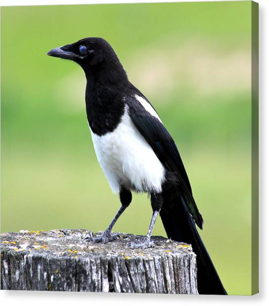 Magpies Canvas Print - Black-billed Magpie by Karon Melillo DeVega