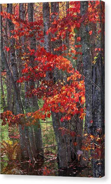 Black Birch Tree Splendor Canvas Print