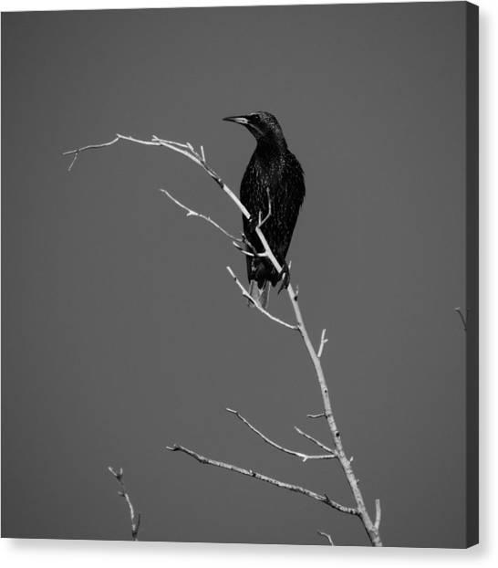 Black Bird On A Branch Canvas Print