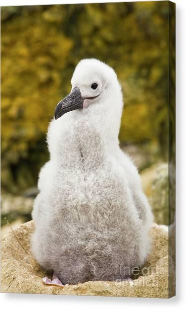 Albatrosses Canvas Print - Black Browed Albatross Chic by Yva Momatiuk John Eastcott