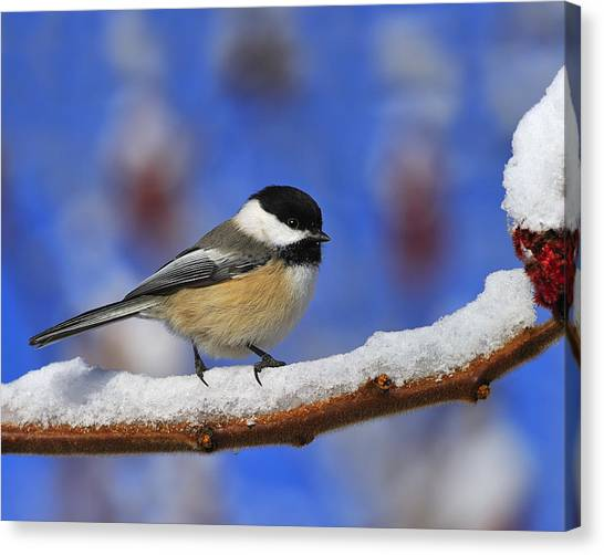 Black-capped Chickadee In Sumac Canvas Print