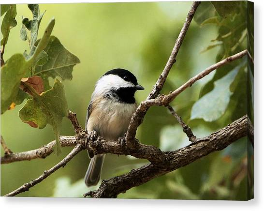 Black Capped Chickadee On Branch Canvas Print