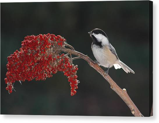 Black-capped Chickadee Canvas Print by Raju Alagawadi