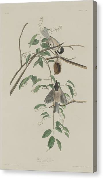 Titmouse Canvas Print - Black-capped Titmouse by Dreyer Wildlife Print Collections