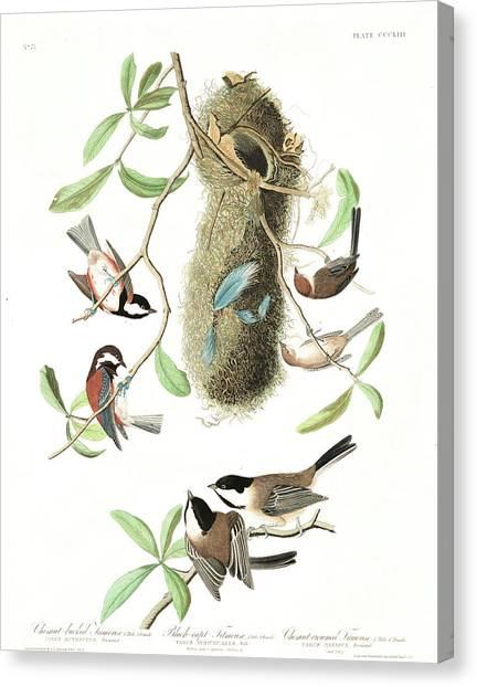 Titmice Canvas Print - Black-capt Titmouse by John James Audubon