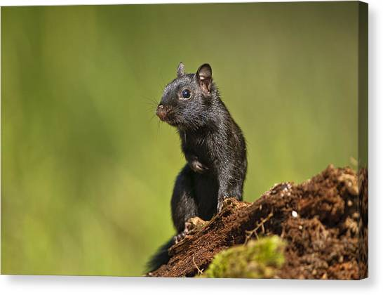 Black Chipmunk On Log Canvas Print