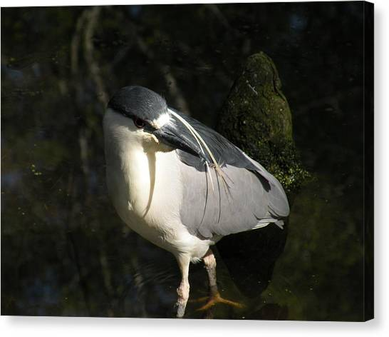 Black Crowned Heron Canvas Print by Gregory Letts
