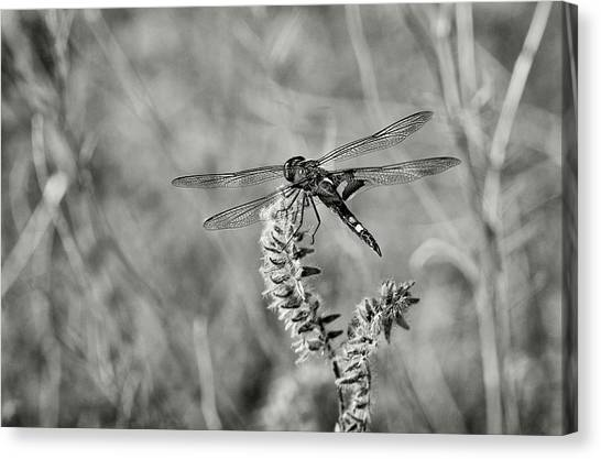 Metal Dragonfly Canvas Print - Black Dragonfly Bw by Rick Mosher