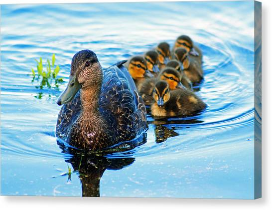 Black Duck Brood Canvas Print