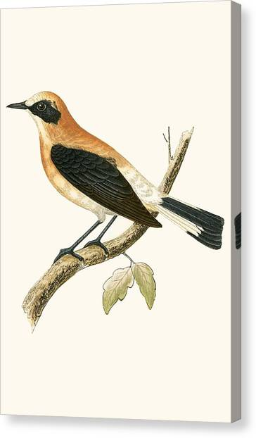 Flycatcher Canvas Print - Black Eared Wheatear by English School