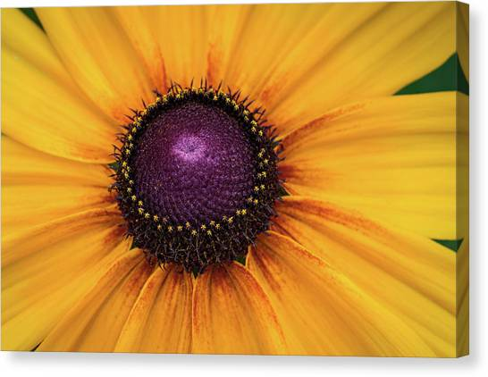 Black Eyed Susan Canvas Print by Denise McKay