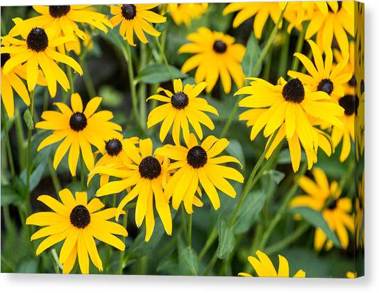Black-eyed Susan Up Close Canvas Print