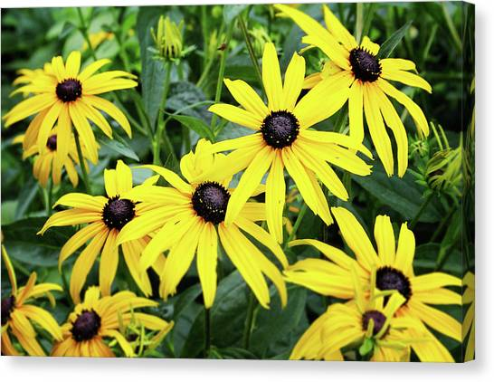 Daisy Canvas Print - Black Eyed Susans- Fine Art Photograph By Linda Woods by Linda Woods