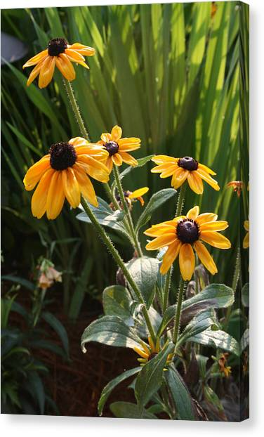 Susan Canvas Print - Black-eyed Susans by Greg Joens