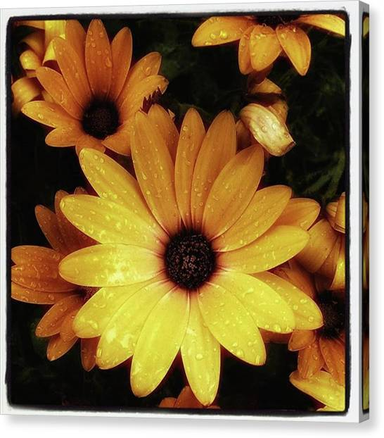 Canvas Print featuring the photograph Black Eyed Susans. Looks Like They're by Mr Photojimsf