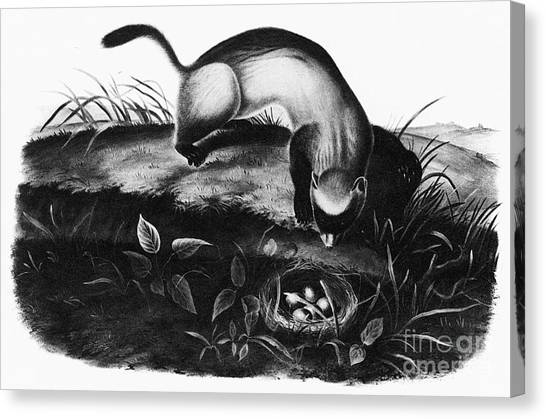 Black-footed Ferret Canvas Print - Black-footed Ferret by Granger