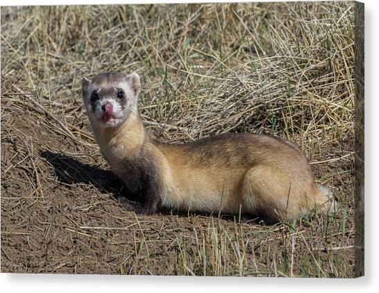 Black-footed Ferret Canvas Print - Black-footed Ferret Licks Its Chops by Tony Hake