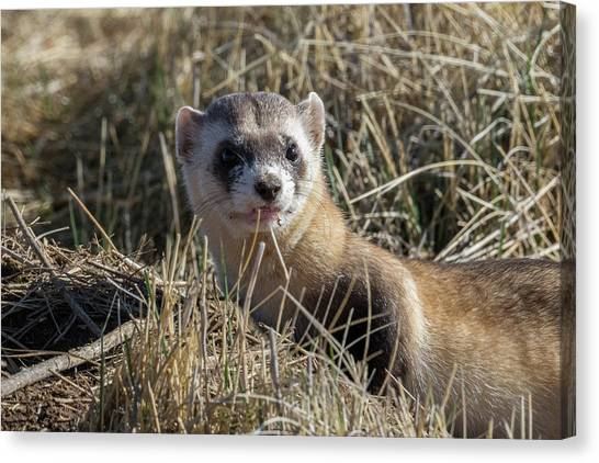 Black-footed Ferret Canvas Print - Black-footed Ferret Up Close by Tony Hake