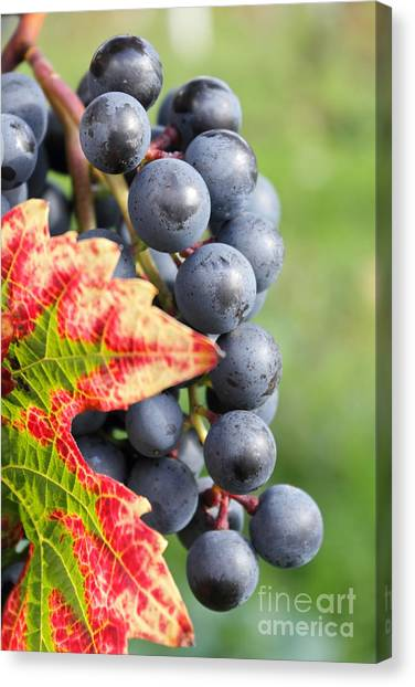 Black Grapes On The Vine Canvas Print
