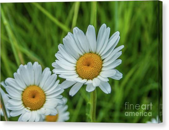 Black-headed Daisy's Canvas Print