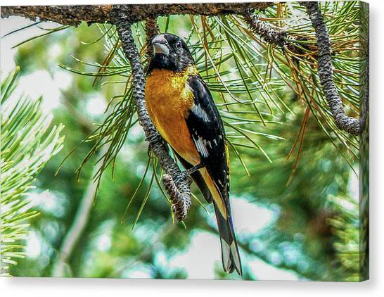 Black-headed Grosbeak On Pine Tree Canvas Print