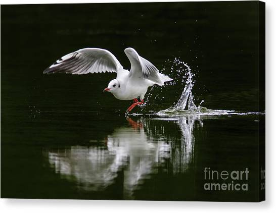 Black-headed Gull Chroicocephalus Ridibundus In Winter Plumage Canvas Print