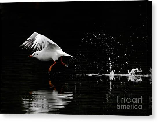 Black-headed Gull - Low Key Canvas Print