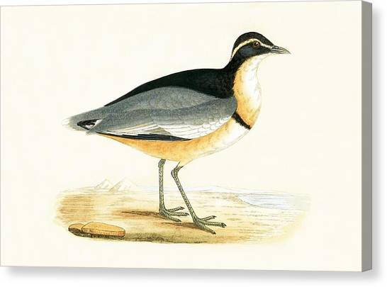 Lapwing Canvas Print - Black Headed Plover by English School