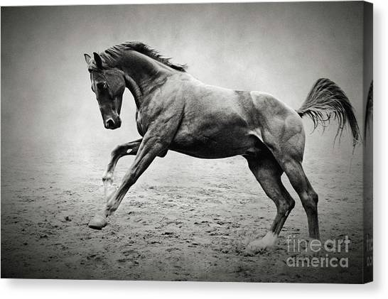 Black Horse In Dust Canvas Print