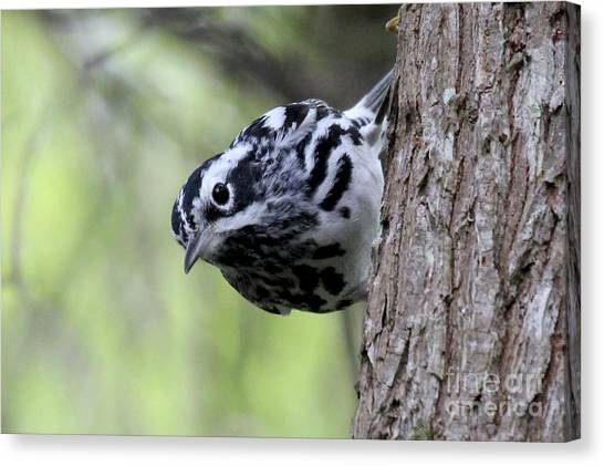 Black-n-white Warbler Canvas Print