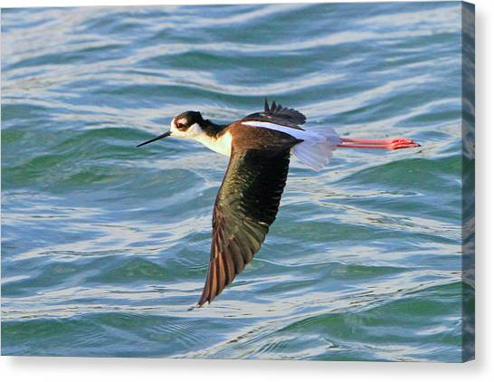 Black-necked Stilt 6 Canvas Print