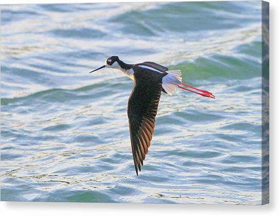 Black-necked Stilt 8 Canvas Print