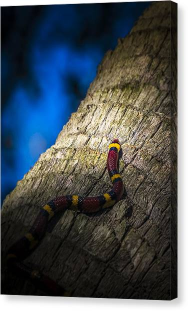 Coral Snakes Canvas Print - Black Next To Red Don't Mean Jack by Marvin Spates