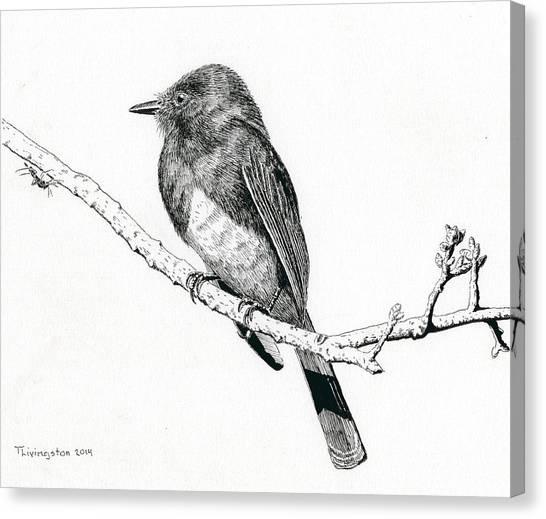 Black Phoebe Canvas Print