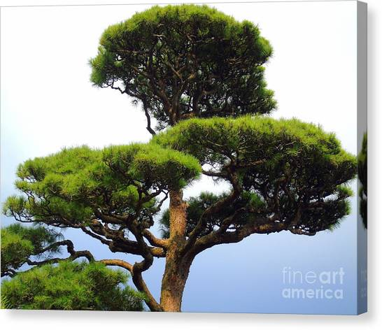 Black Pine Japan Canvas Print