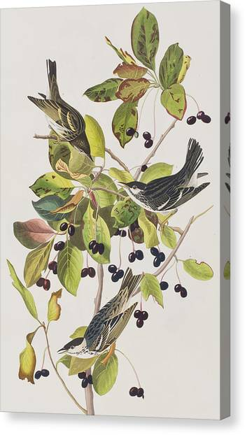 Warblers Canvas Print - Black Poll Warbler by John James Audubon
