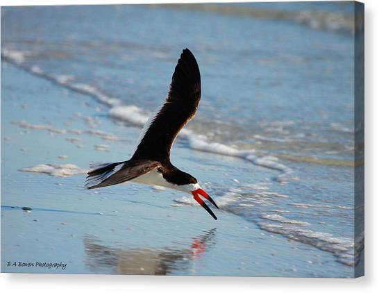 Razorbills Canvas Print - Black Skimmer by Barbara Bowen