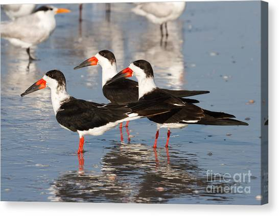 Black Skimmer Birds Canvas Print