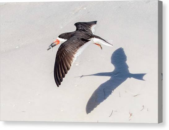 Black Skimmer, Fish And Shadow Canvas Print