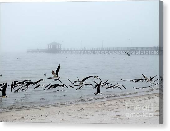Black Skimmers - Biloxi Mississippi Canvas Print