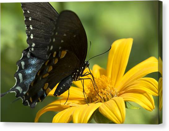 Black Swallowtail Drinking Canvas Print